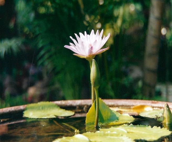 Bloeiende Lotus